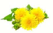 ingredient-dandelion