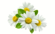 ingredient-camomile-blossom